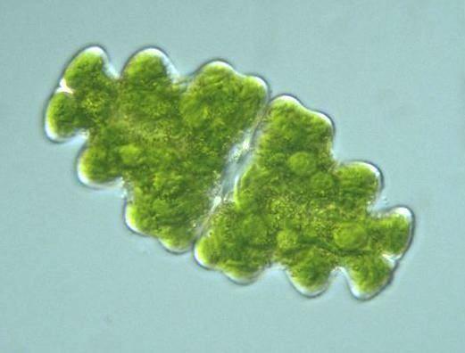 Euastrum protistihoseiacjppdbImagesChlorophytaEuast