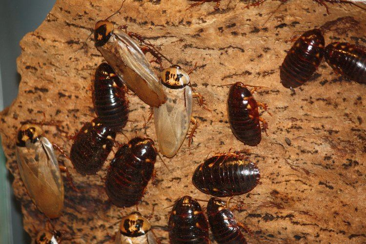 Eublaberus Eublaberus distanti Wikipedia