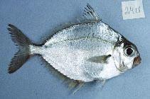 Eubleekeria splendens fishbaseorgimagesthumbnailsjpgtnLesplu0jpg