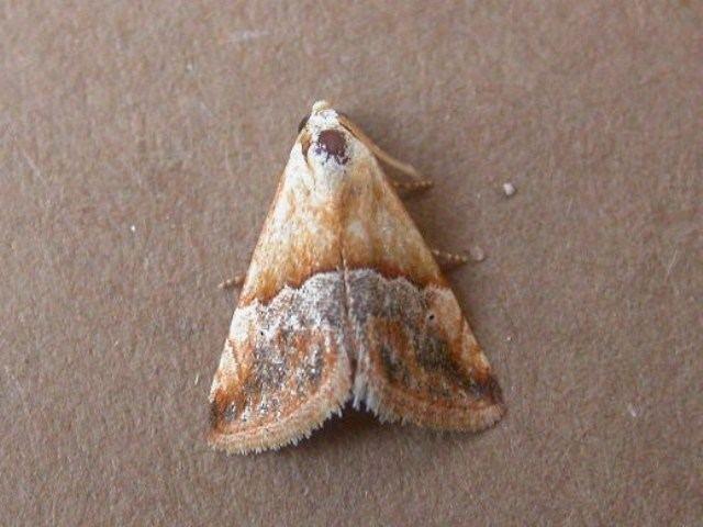 Eublemma Eublemma parva African Moths