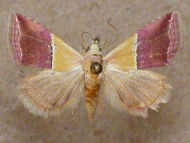 Eublemma anachoresis wwwafricanmothscomimagesErebidaeBOLETOBIINAE