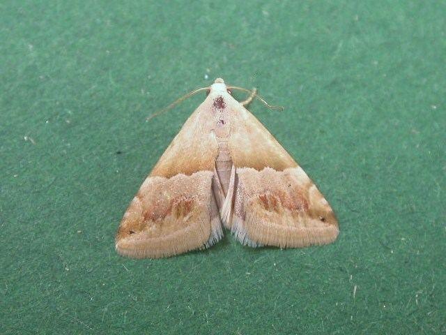 Eublemma Eublemma rivula African Moths