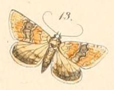 Eublemma delicata
