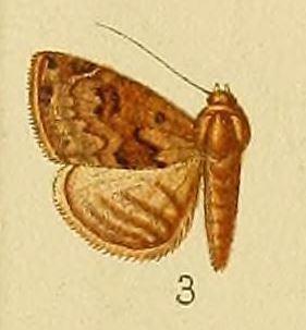 Eublemma nigrivitta