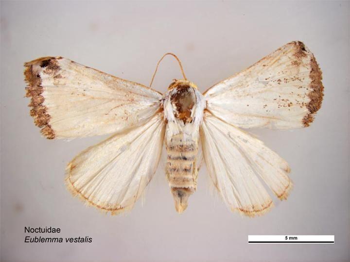 Eublemma vestalis