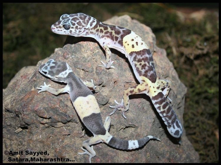 Eublepharis fuscus The leopard gecko Eublepharis fuscus