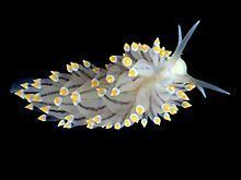 Eubranchus tricolor httpsuploadwikimediaorgwikipediacommonsthu