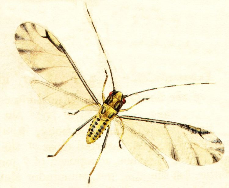 Eucallipterus tiliae