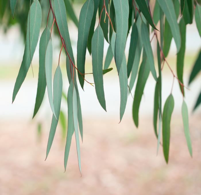 Eucalyptus Eucalyptus What are the health benefits Medical News Today