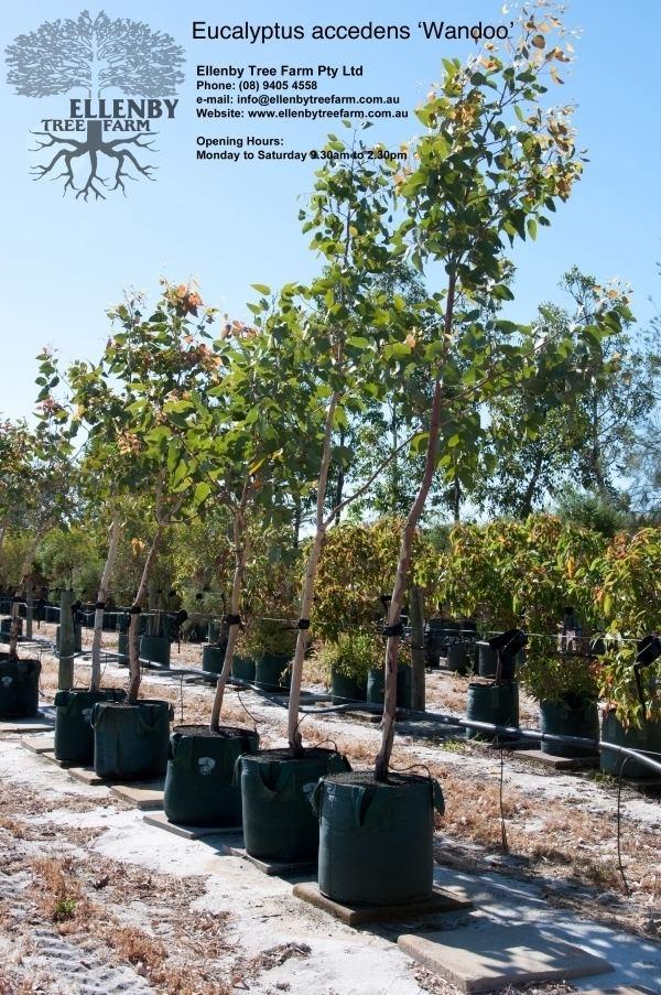Eucalyptus accedens Eucalyptus accedens 39Smooth Bark Wandoo39 Ellenby Tree Farm