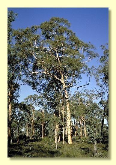 Eucalyptus accedens Eucalyptus accedens