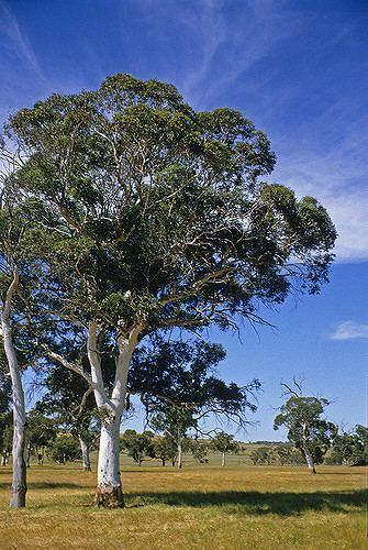 Eucalyptus accedens Eucalyptus accedens Photographer Ivan Holliday Russell Dahms