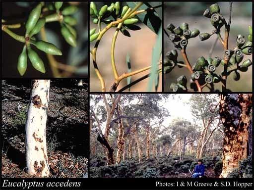 Eucalyptus accedens httpsflorabasedpawwagovausciencetimage55