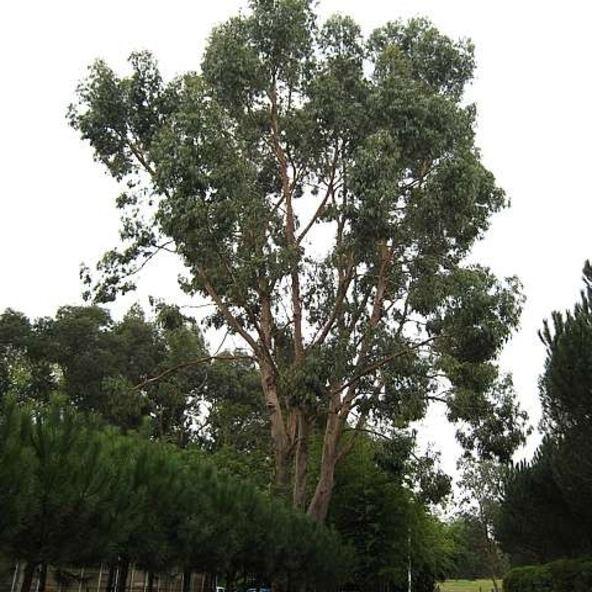 Eucalyptus aggregata wwwarchitecturalplantscommediaproductsmall39