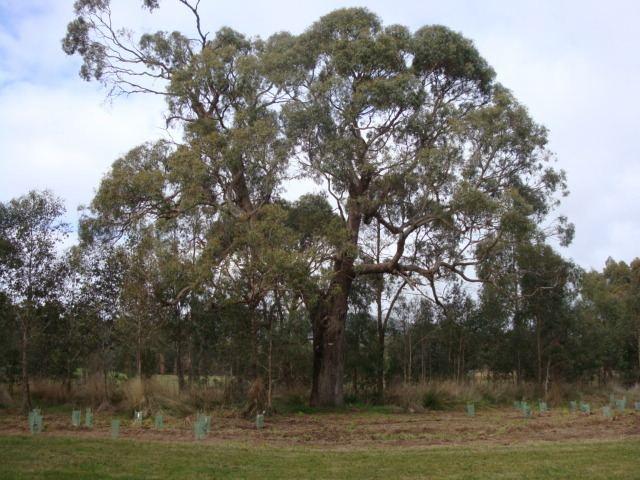 Eucalyptus aggregata VHD