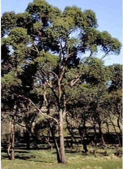 Eucalyptus aggregata Eucalyptus aggregata Black Gum Buy Online UK Supplier Hardy