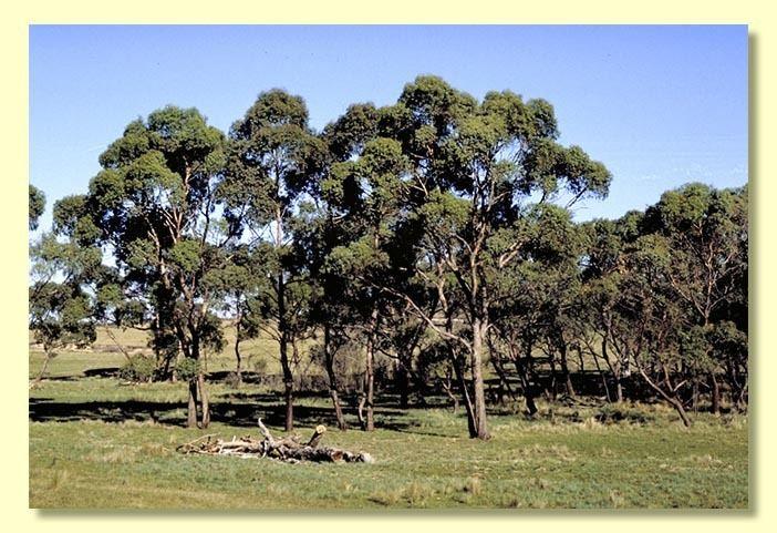 Eucalyptus aggregata Eucalyptus aggregata