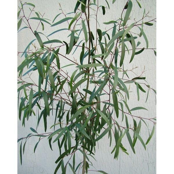 Eucalyptus aggregata Eucalyptus aggregata Black Gum Grafton Nursery