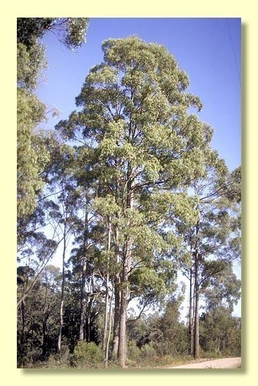 Eucalyptus amygdalina httpswwwanbggovaucpbrcdkeysEuclidsample