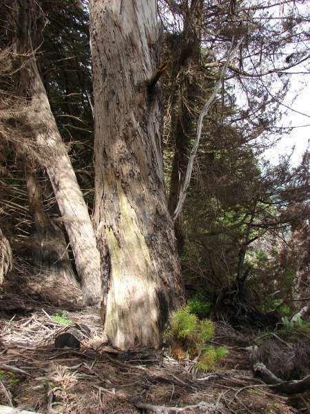 Eucalyptus amygdalina blackpeppermint 131578 common name Eucalyptus amygdalina