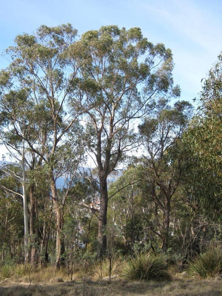 Eucalyptus amygdalina Friends of Knocklofty Flora E