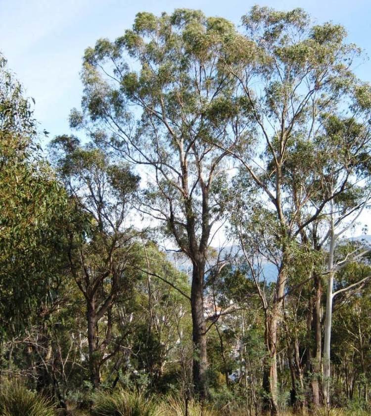 Eucalyptus amygdalina Australian Seed EUCALYPTUS amygdalina