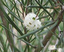 Eucalyptus angustissima httpsuploadwikimediaorgwikipediacommonsthu