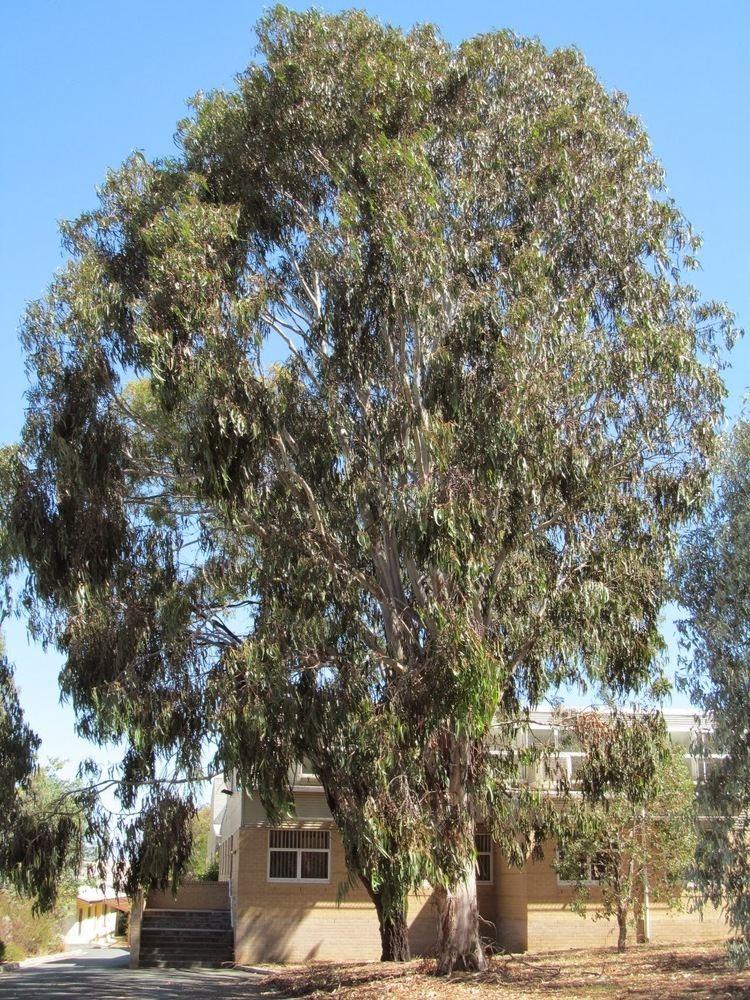 Eucalyptus bicostata PhyloBotanist Botany picture 134 Eucalyptus bicostata