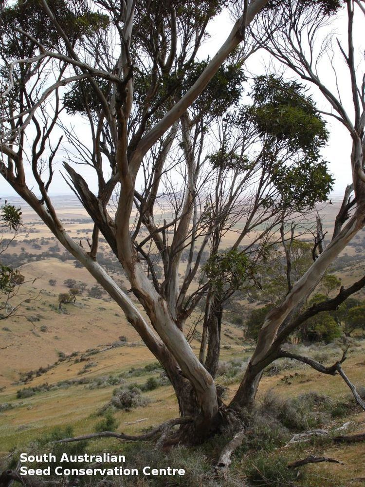 Eucalyptus bicostata Eucalyptus bicostata