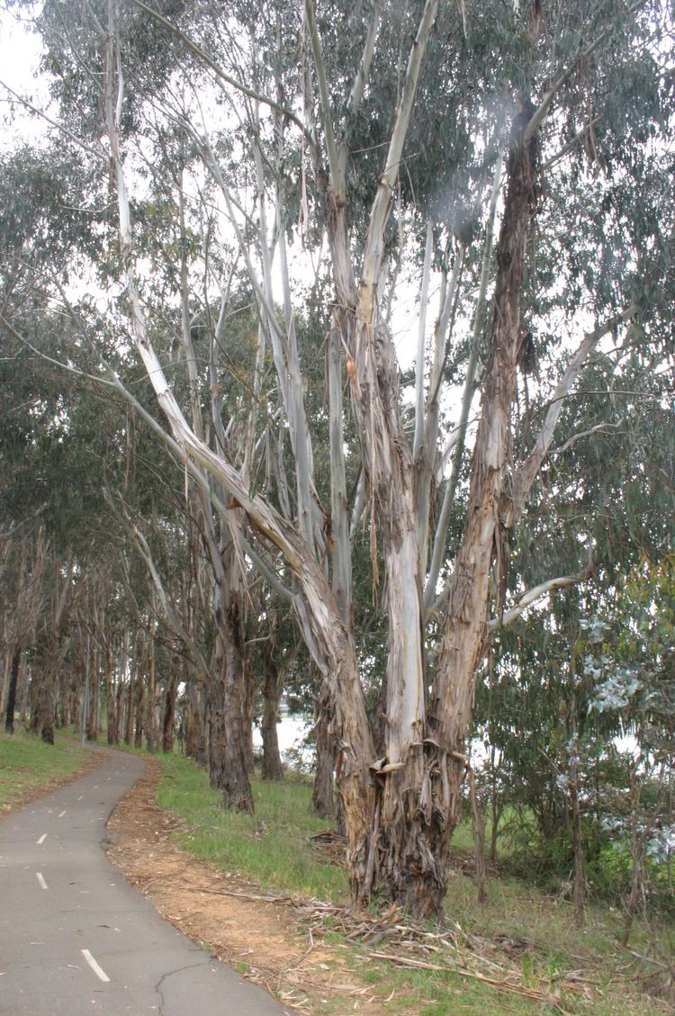 Eucalyptus bicostata Southern Blue Gum 39Eucalyptus bicostata39 Canberra Trees a