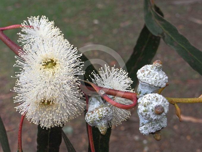 Eucalyptus bicostata Eucalyptus bicostata Southern Blue Gum Eurabbie information amp photos