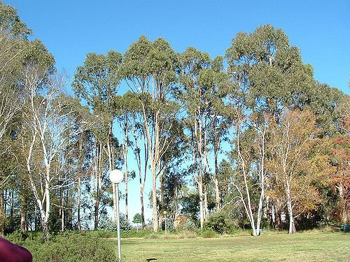 Eucalyptus bicostata 169 Eucalyptus bicostata Grahame Coote Flickr