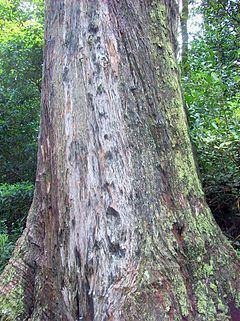 Eucalyptus blaxlandii httpsuploadwikimediaorgwikipediacommonsthu