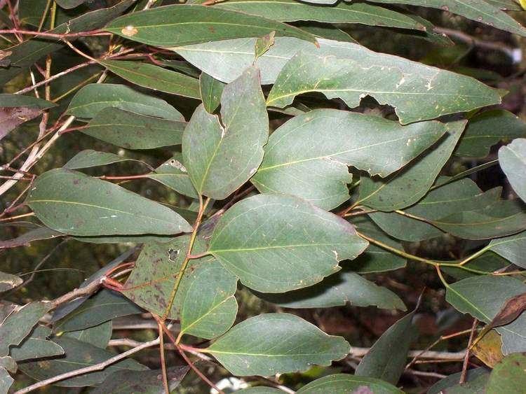 Eucalyptus bosistoana httpsuploadwikimediaorgwikipediacommons00
