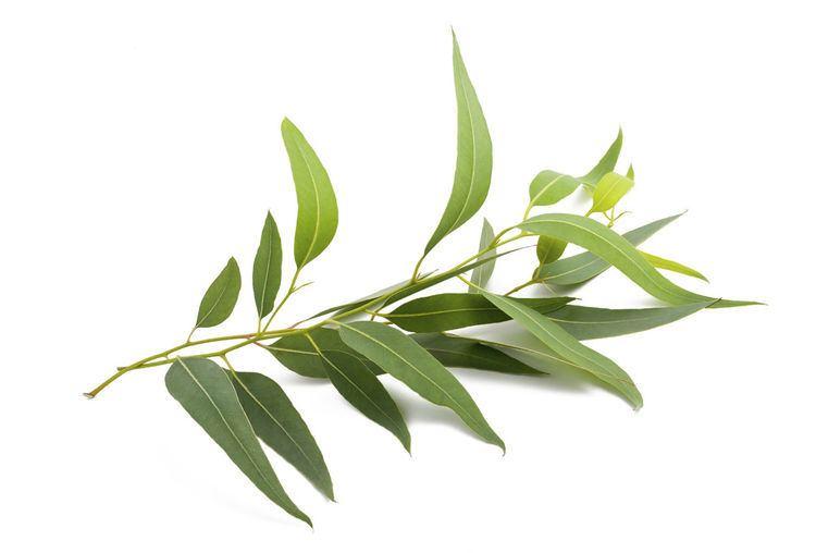 Eucalyptus Eucalyptus Tree Treemories