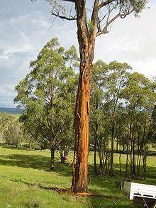 Eucalyptus caliginosa httpsuploadwikimediaorgwikipediacommonsthu