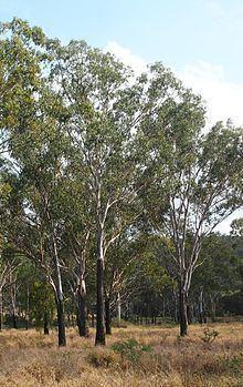 Eucalyptus cambageana httpsuploadwikimediaorgwikipediacommonsthu