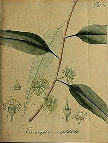 Eucalyptus capitellata httpsuploadwikimediaorgwikipediacommonsthu