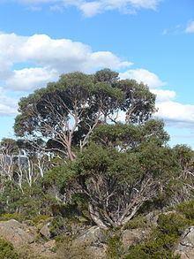 Eucalyptus coccifera httpsuploadwikimediaorgwikipediacommonsthu