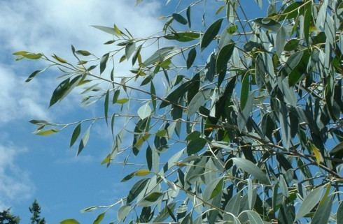 Eucalyptus coccifera Photos of Eucalyptus coccifera