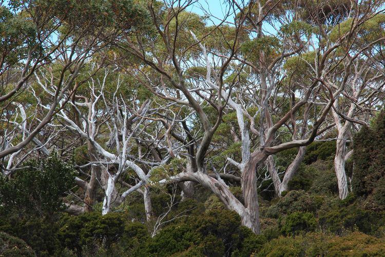 Eucalyptus coccifera Eucalyptus coccifera Wikiwand