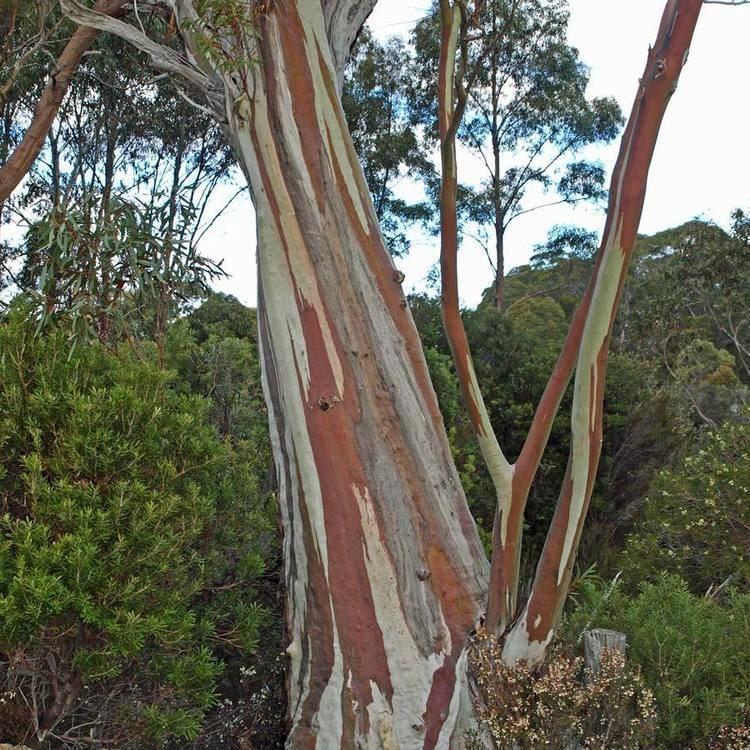 Eucalyptus coccifera Australian Seed EUCALYPTUS coccifera