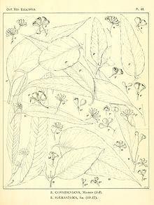 Eucalyptus consideniana httpsuploadwikimediaorgwikipediacommonsthu
