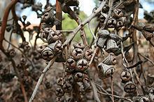 Eucalyptus cornuta Eucalyptus cornuta Wikipedia
