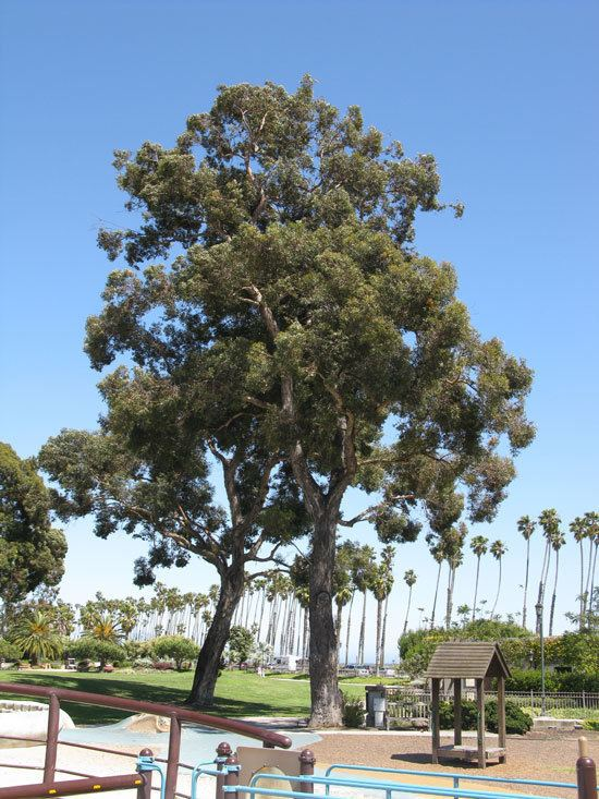 Eucalyptus cornuta UFEI SelecTree A Tree Selection Guide