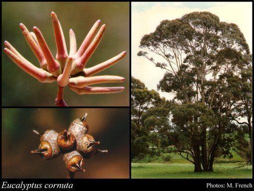 Eucalyptus cornuta httpsflorabasedpawwagovausciencetimage56
