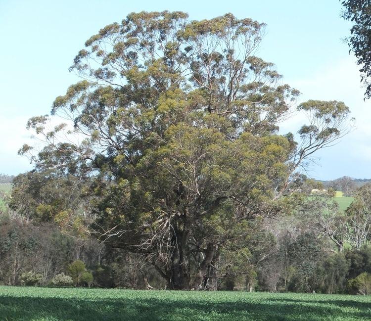 Eucalyptus cornuta Yate Eucalyptus cornuta Robert Powell Tree Pictures