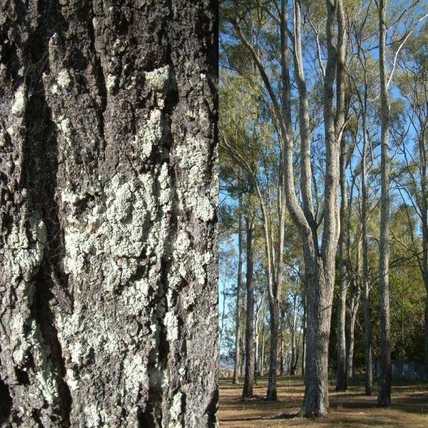 Eucalyptus crebra Eucalyptus crebra Noosa39s Native Plants