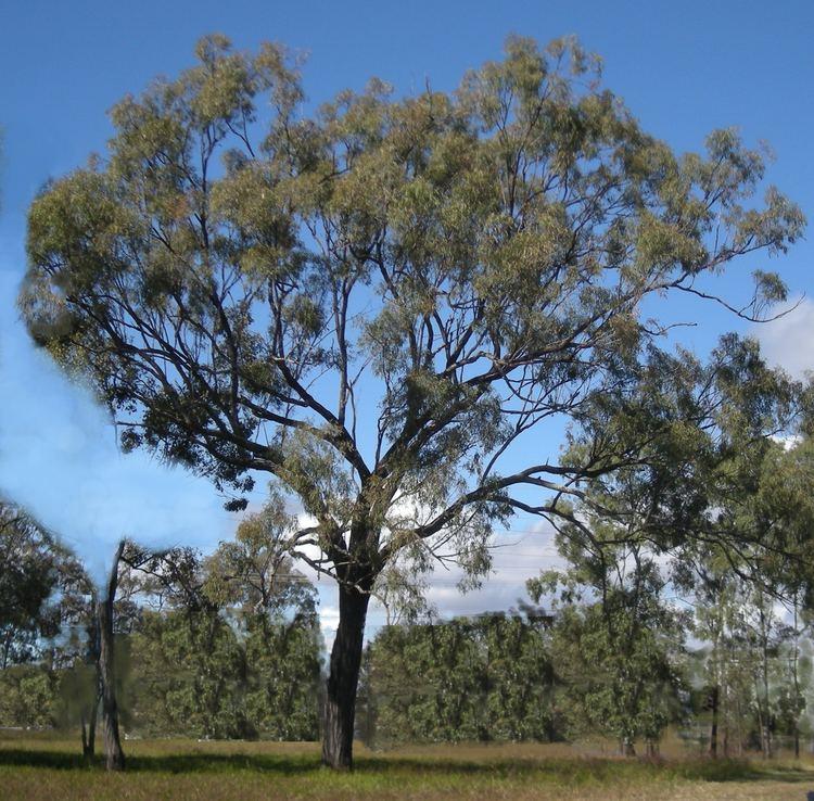 Eucalyptus crebra Eucalyptus crebra Wikipedia