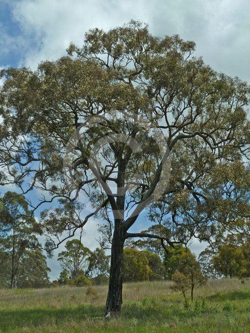 Eucalyptus crebra wwwplantthiscomauimagesximagesplants14152